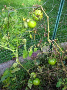 Tomatoes still green in October.