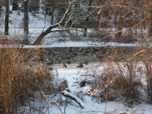 Geese in the remaining unfrozen water.