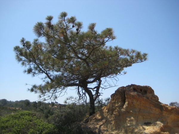 A Torrey Pine, shaped by the forces of nature.