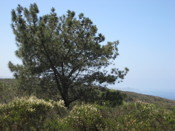 A larger Torrey Pine with La Jolla in the background.