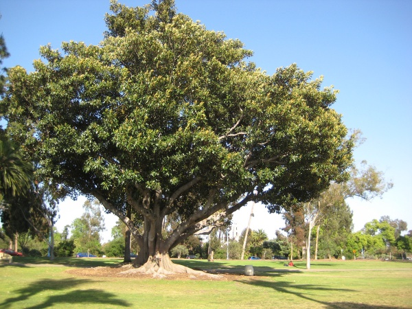 Tree in Balboa Park, near the favorite spot for ultimate Frizbee.
