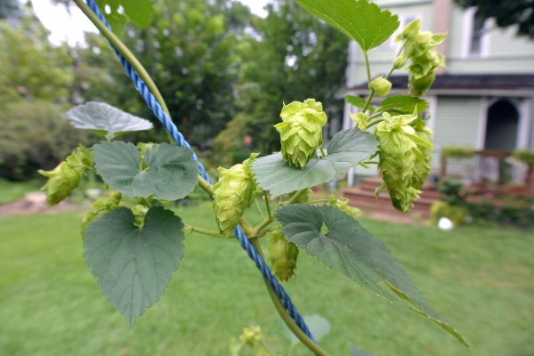 Backyard hops on the vine.