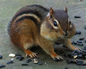 Chipmunk gathering seeds.