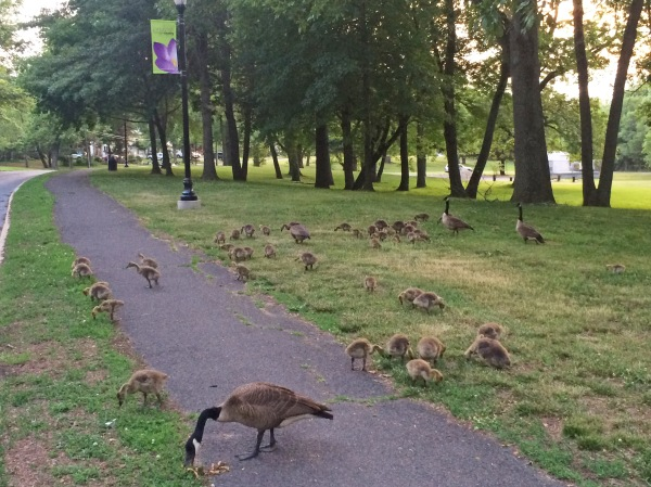 Non-plussed geese and gosslings along the trail. (courtesy Sue Hamilton)