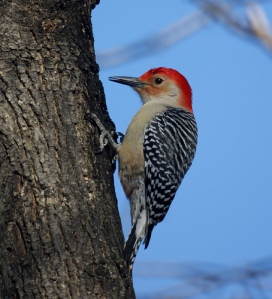 Red-bellied woodpecker (not red-headed, that's another type which is much rarer)
