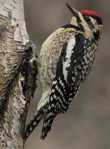 Yellow-bellied sapsucker.