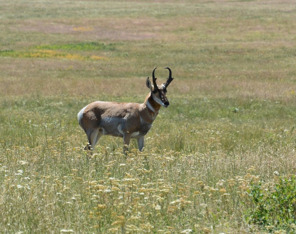 Pronghorn, Bison National Reserve, Montana